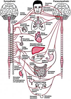 Что делает с нами симпатическая и парасимпатическая нервная система. Источник: Silvia Bunge, ResearchGate