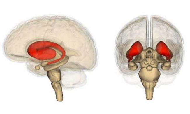 Каждое действие активизирует нейронные цепочки в верхней зоне полосатого тела. Чем чаще по этим путям проходят электрические и химические сигналы, тем устойчивее они становятся. Так формируется рутина.