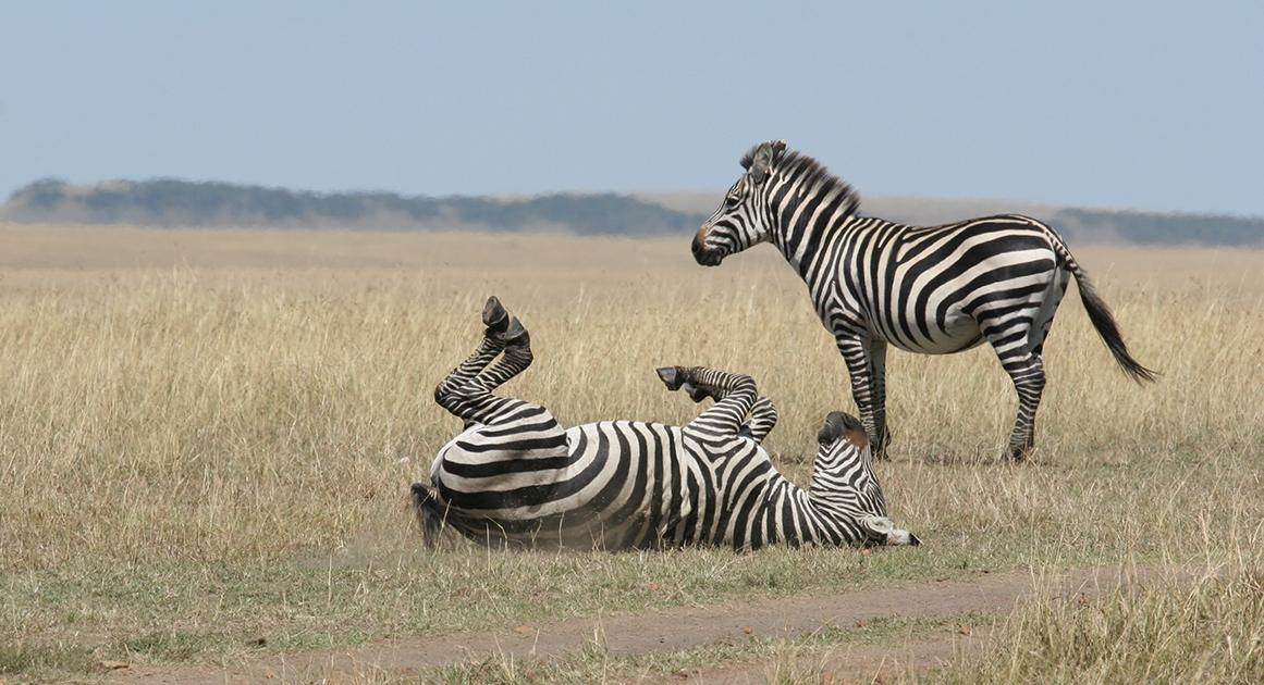 Расслабьтесь, как зебра или как гепард. Почему животным удается контролировать стресс?