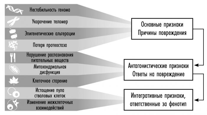 Девять основных причин старения ученые разделяют на три основных категории. Вверху указаны основные признаки (нестабильность генома, укоро-чение теломер, эпигенетические альтерации и потеря протео-стаза), из-за которых, как полагают, в основном и происходят повреждения клеток. В центре — антагонистические признаки (нарушение распознавания питательных веществ, митохон-дриальная дисфункция и клеточное старение); их считают частью компенсаторных (или антагонистических) реакций на повреждения. Первоначально они смягчают ущерб, но, если носят хронический или острый характер, могут стать пагубными. Внизу приведены интегративные признаки (исто-щение пула стволовых клеток и изменение межклеточного взаимодействия), которые являются отдаленным результатом двух предыдущих групп и причинами, в конечном счете ответственными за связанное со старением снижение функций.